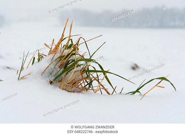 Closeup of a plant in snow in winter in Bavaria, Germany
