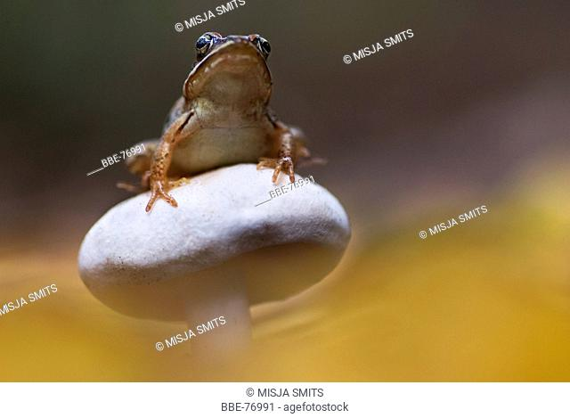 Macro picture of a Common frog on a white toadstool