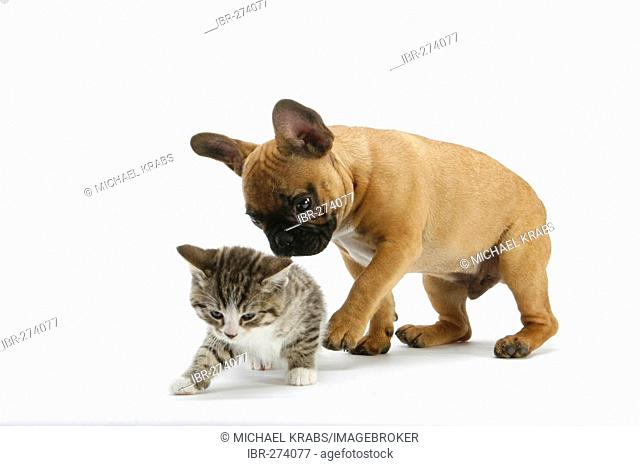 French Bulldog and kitten