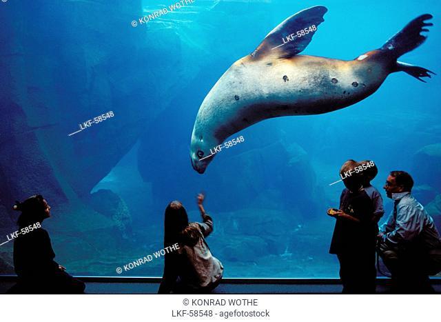 Steller sea lion and people at aquarium Sealife Center Seward, Alaska, USA, America