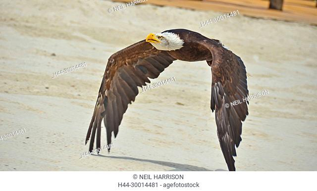 A bald eagle flies close to the ground