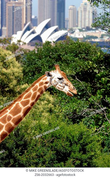Giraffe at Taronga Zoo, Sydney, NSW, Australia