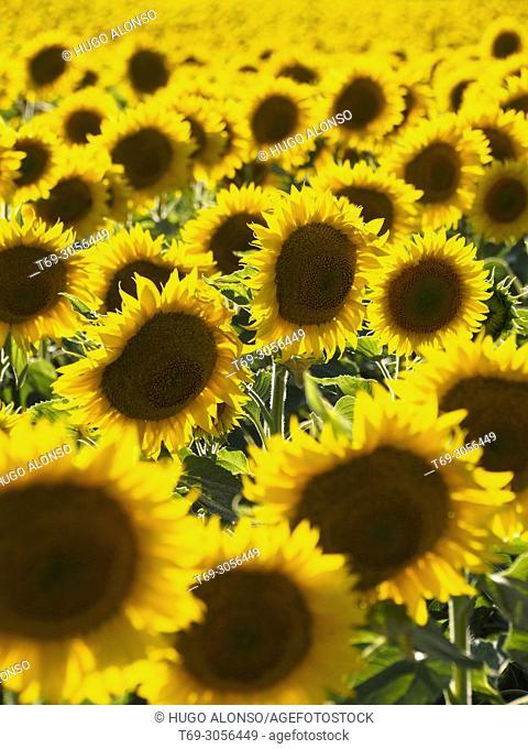 Sunflower field. la Rioja. Spain