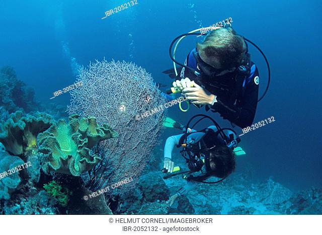 Two scuba divers searching for Pygmy Seahorses, Borneo, Malaysia, Indo-Pacific Ocean, Asia