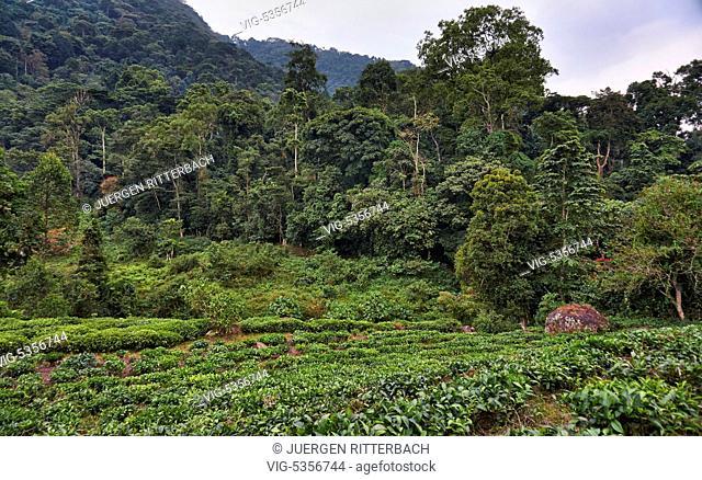 UGANDA, BUHOMA, 16.02.2015, rain forest of Bwindi Impenetrable National Park, Uganda, Africa - Buhoma, Uganda, 16/02/2015