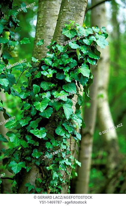 IVY hedera helix ON A TREE TRUNK