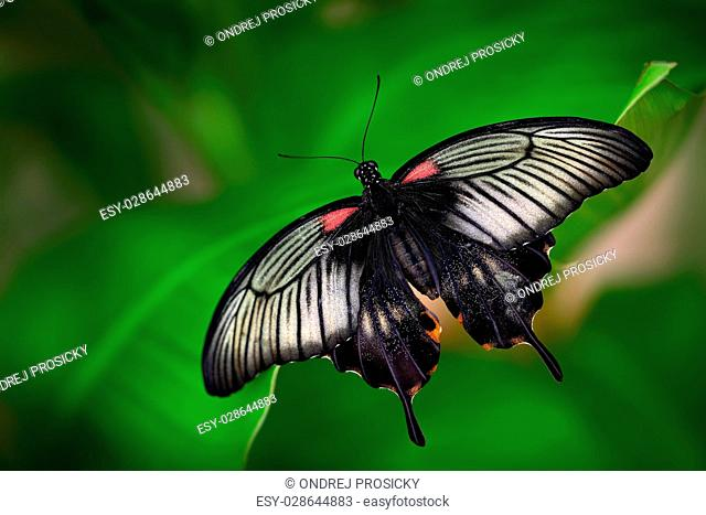 Beautiful dark butterfly, Papilio rumanzovia, Scarlet Mormon