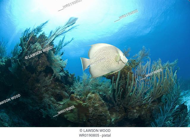 Grey Angelfish Pomacanthus arcuatus, swimming over coral reef, Cayman Islands, Caribbean
