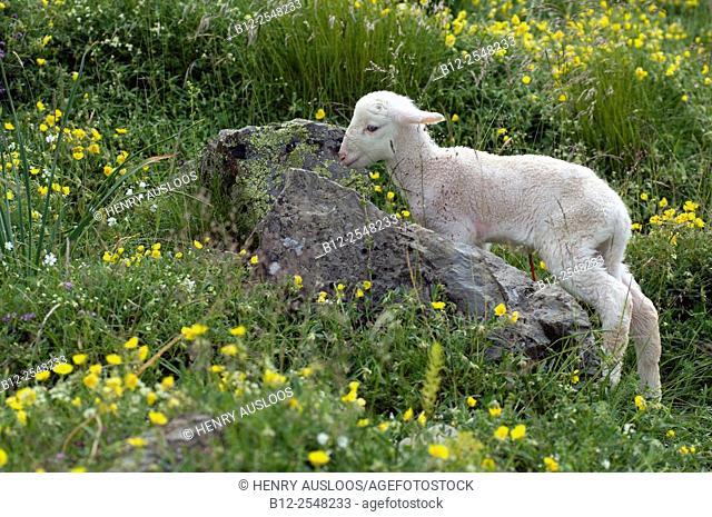 Sheep (Ovis aries), Lamb Basco-Bearnais just born, Pyrenees, France