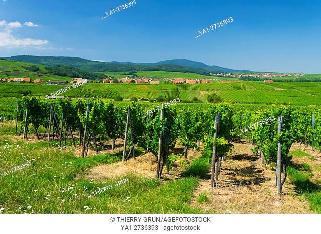 France, Bas Rhin (67), wine road, Blienschwiller, vineyards during summer