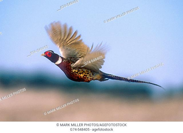 A Ring-necked Pheasant lifting off and flying away- a common and wildly spread game bird