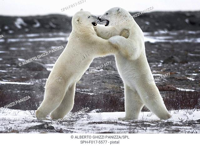 Two young polar bears fighting. Churchill, Canada