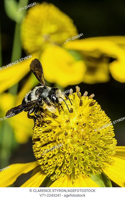 Mason Bee (Osmia sp.) Feeding on Cutleaf Dais;( Engelmannia peristenia) Flower