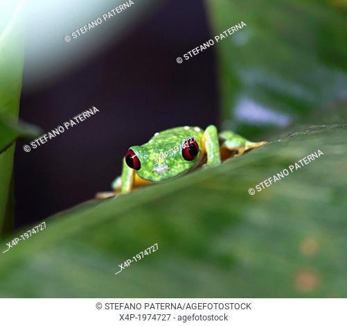 Red-Eyed Tree Frog, Agalychnis callidryas, Costa Rica