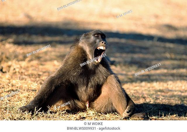 chacma baboon Papio ursinus, portrait of a single animal, Namibia