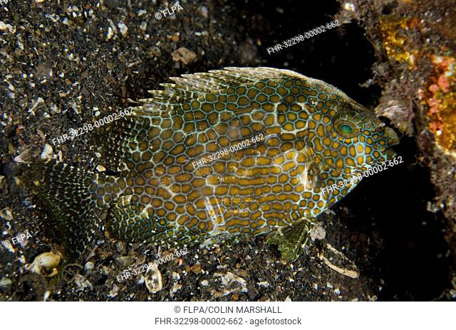 Gold-spotted Rabbitfish (Siganus punctatus) adult, with night colours, at night, Lembeh Straits, Sulawesi, Greater Sunda Islands, Indonesia, November