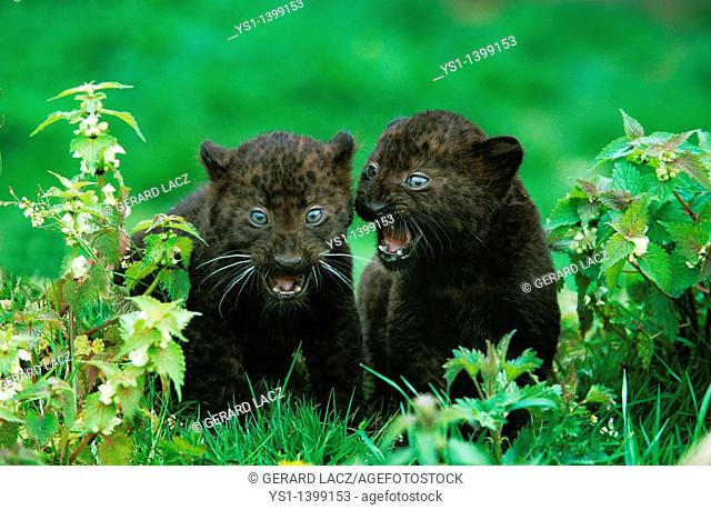 Black Panther, panthera pardus, Cub standing in Long Grass