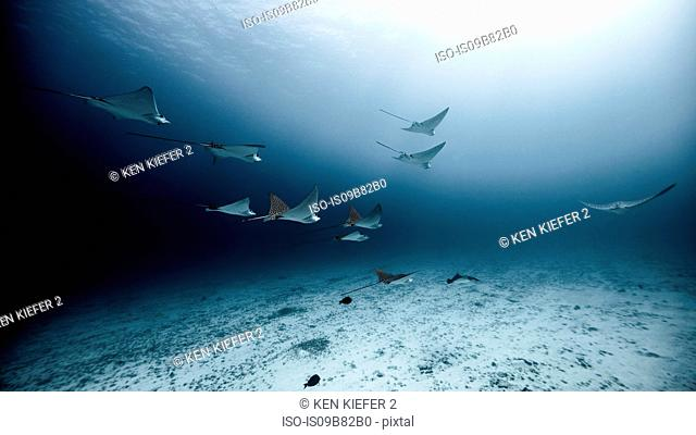 Underwater view of spotted eagle rays swimming near seabed, Cancun, Quintana Roo, Mexico
