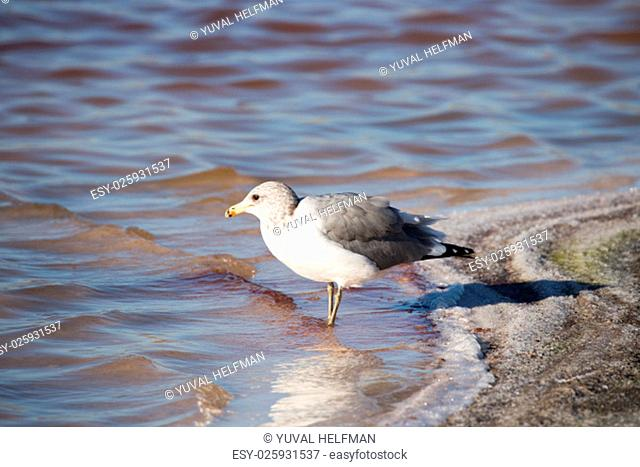 The California gull (Larus californicus) is a medium-sized gull, smaller on average than the herring gull but larger on average than the ring-billed gull