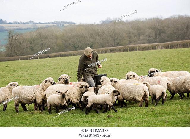 A farmer in a field feeding a flock of sheep