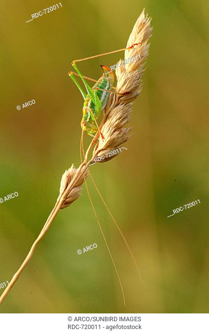 Striped Bush-cricket