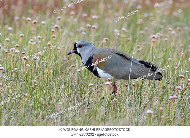A southern lapwing (Vanellus chilensis) at the Laguna Nimez Bird Sanctuary in El Calafate, Argentina