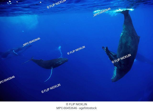 Humpback Whale (Megaptera novaeangliae) female diving near cooperative male escort group, Maui, Hawaii - notice must accompany publication; photo obtained under...