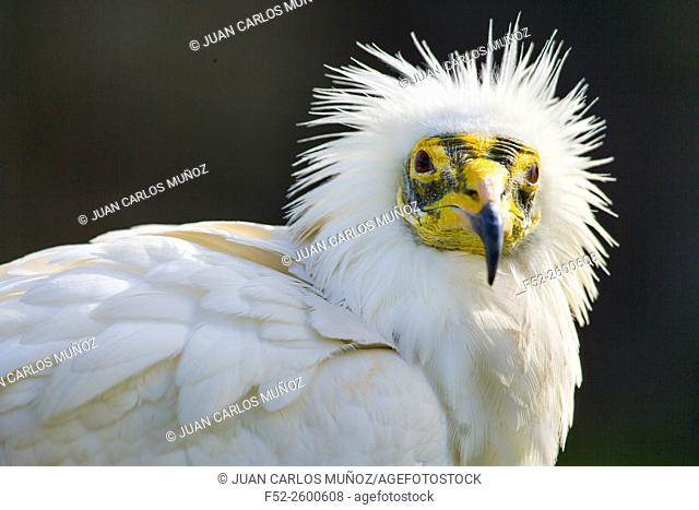 Egyptian vulture (Neophron percnopterus), also called the white scavenger vulture or pharaoh's chicken