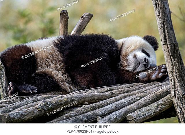 Giant panda (Ailuropoda melanoleuca) one-year old cub sleeping on wooden platform in zoo