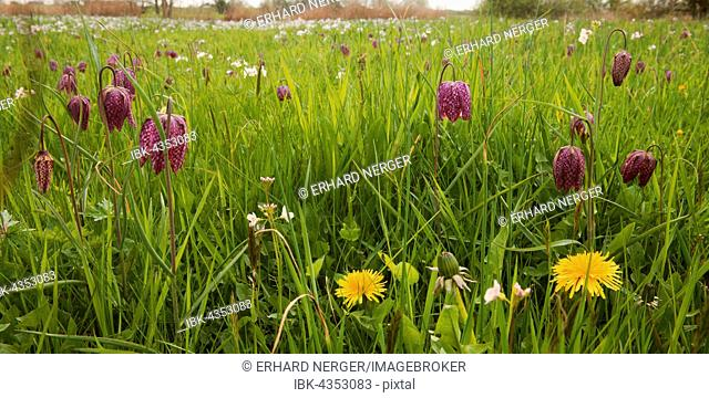 Wet meadow with checkerboard flower (Fritillaria meleagris), Lower Saxony, Germany