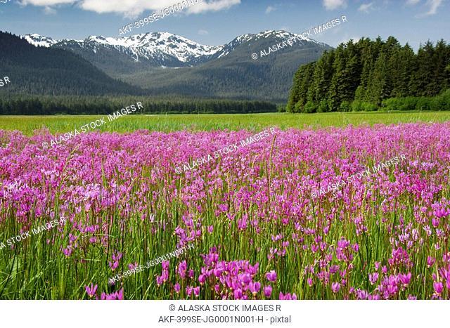 A large field of Shooting Stars bloom in Mendenhall Valley, near Juneau, Southeast Alaska, Summer
