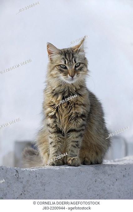 Domestic cat sitting on stairs, long hair, Oia village, Santorini, Cyclades Island, Greek Islands, Greece, Europe