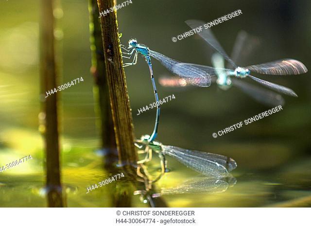 Junge Libellen