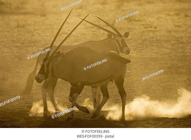 Oryx gazelles, close-up
