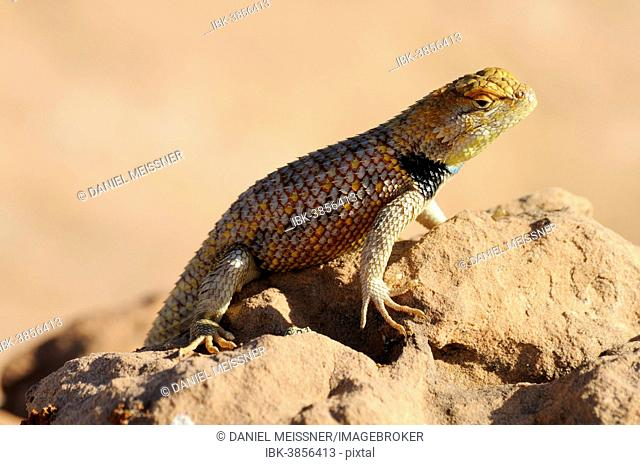 Yellow-backed Spiny Lizard or Desert Spiny Lizard (Sceloporus magister), male, basking in the sun, Grand Staircase-Escalante National Monument, Utah