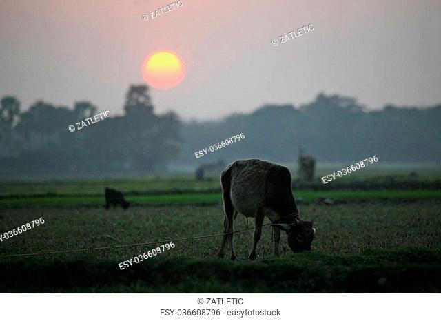 Landscape with a cow that graze grass at sunset in Sundarban, West Bengal, India