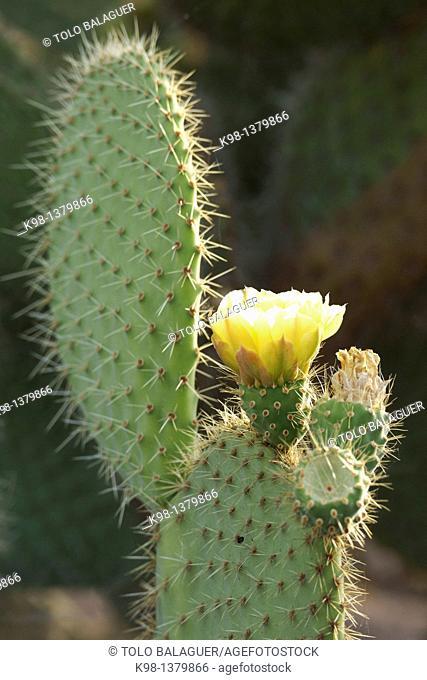 cactus in bloom, Lloret de Vistalegre, Llorito Es Pla Mallorca Illes Balears Spain