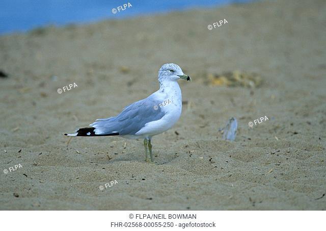 Ring-billed Gull Larus delawarensis Standing on beach - side view - Massachusetts, USA