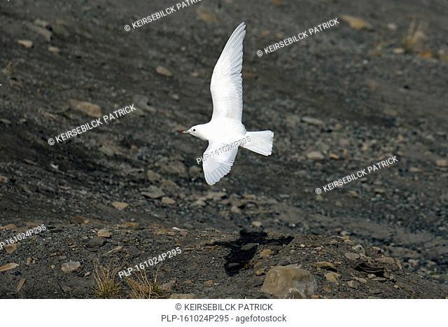 Ivory gull (Pagophila eburnea) soaring over tundra