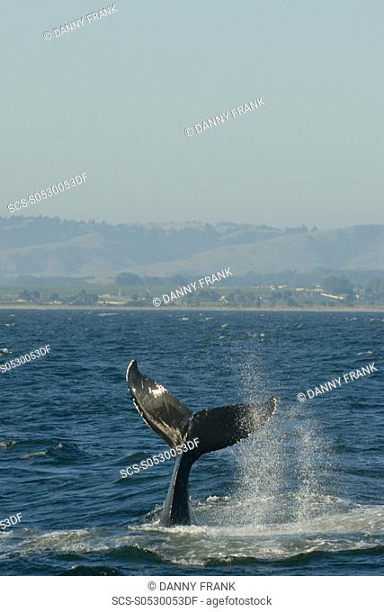 Humpback whale Megaptera novaeangliae tail lob or tail throw,vertical,v,endangered species,Monterey bay national marine sanctuary,california,usa