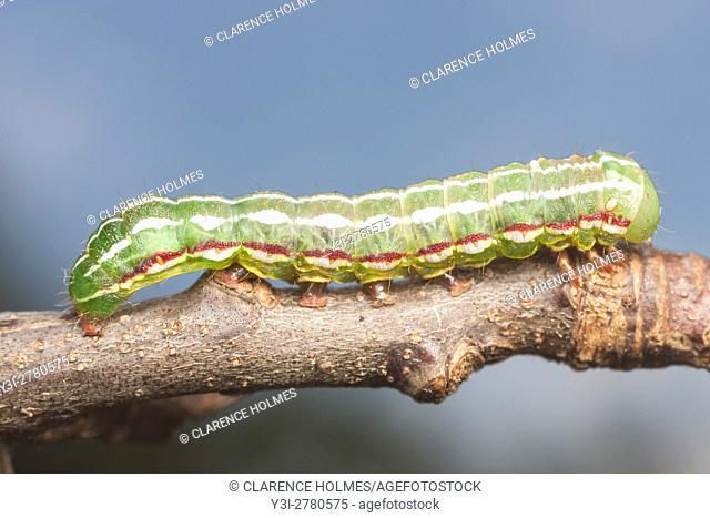 A Major Sallow Moth (Feralia major) caterpillar moves across a twig
