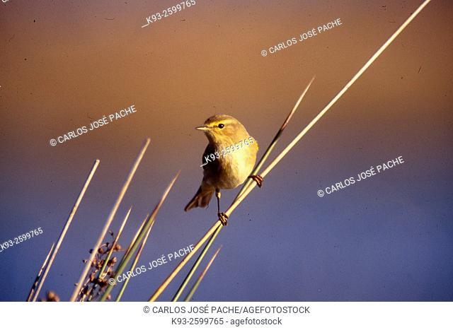 Mosquitero Comun (Phylloscopus collybita). Parque Natural de S'Albufera de Mallorca, Mallorca, Islas Baleares
