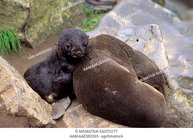 N. Fur Seal & Pup (Callorhinus ursinus), St. Paul Is., Pribilofs, Alaska
