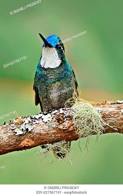 White-throated Mountain-gem, Lampornis castaneoventris