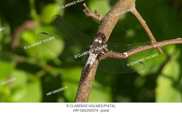 A male Chalk-fronted Corporal (Libellula julia) dragonfly perches on a small branch in spring