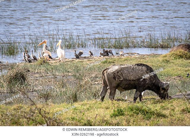 Nakuru National Park, Kenya. - Cape buffalo (Syncerus caffer)