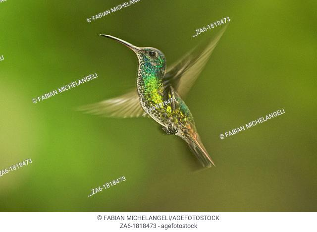 Golden-tailed saphire Chrysuronia oenone, female bird hovering in the cloud forest near Caracas, Venezuela