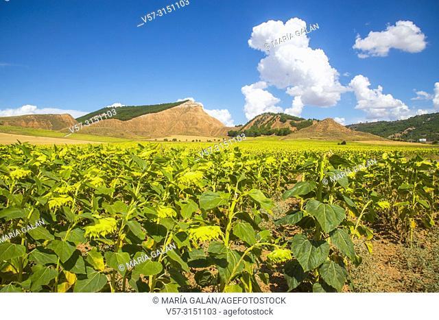 Sunflowers and hills. Taracena, Guadalajara province, Castilla La Mancha, Spain