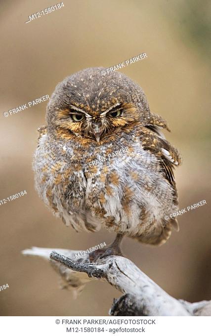 Elf Owl in Tucson Arozona