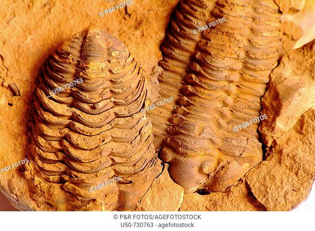 Trilobite fossil, Asaphus sp , extinct arthropods that form the class Trilobita, flourished throughout the lower Paleozoic, found in rock  paleontology, zoology